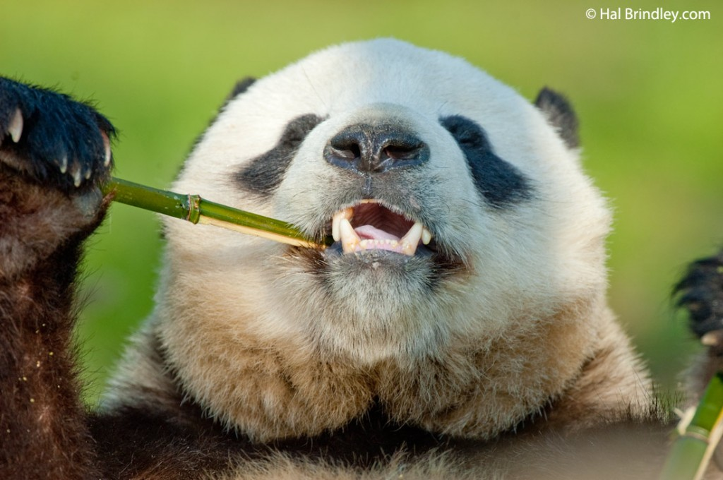 95% of the Giant Panda's diet is bamboo.