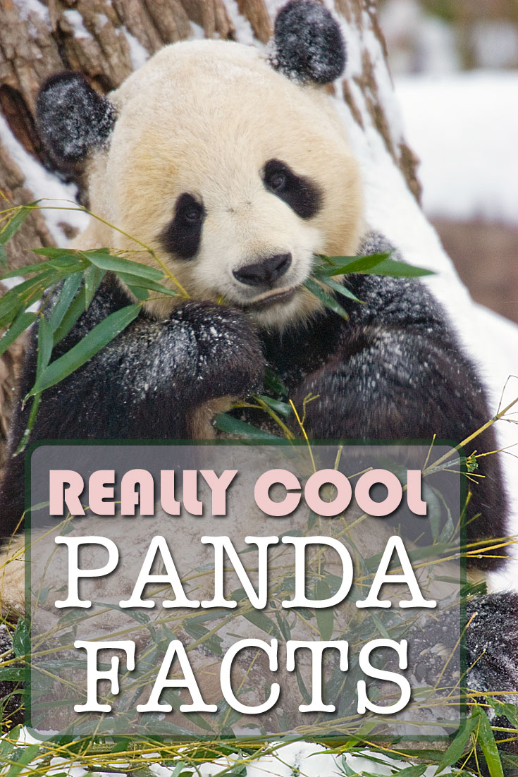 Really Cool Panda Facts, Pin it on Pinterest!