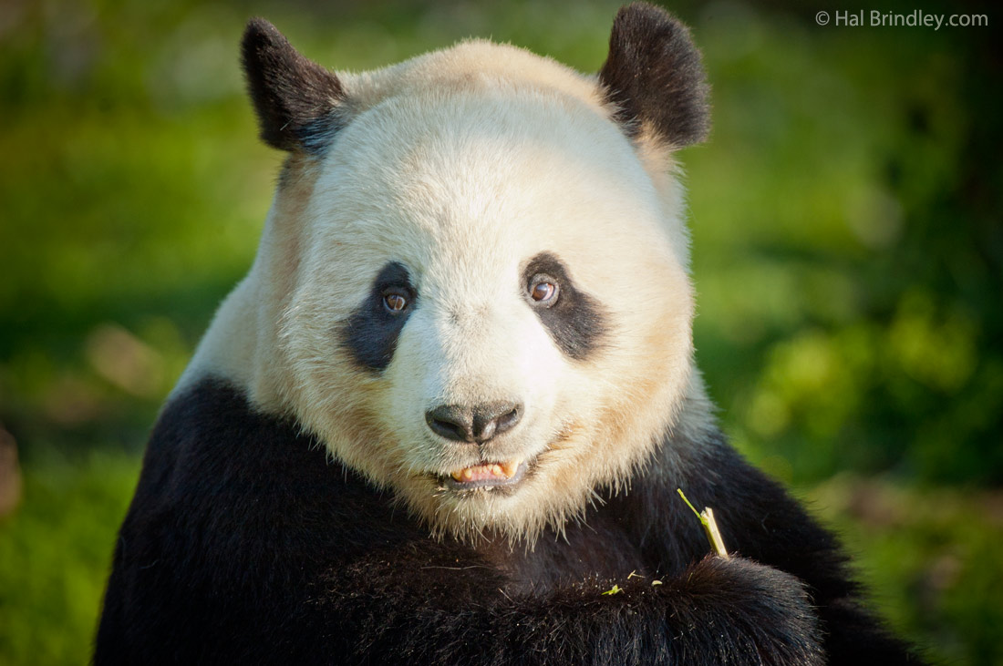 Four Giant Panda Facts Travel 4 Wildlife