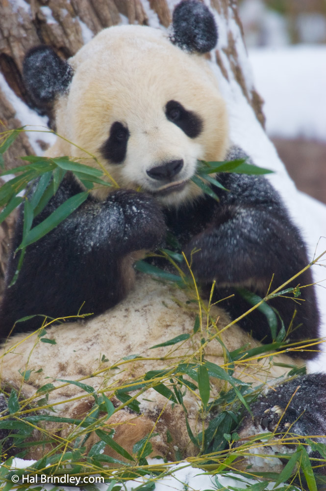 Giant pandas do not hibernate during winter