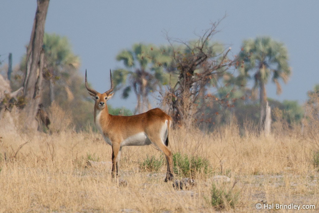 The rare Red Lechwe is plentiful in the Okavango.