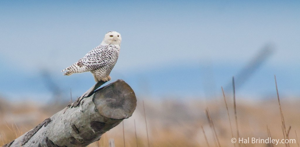 Female snowy owls have dark bars on their plumage