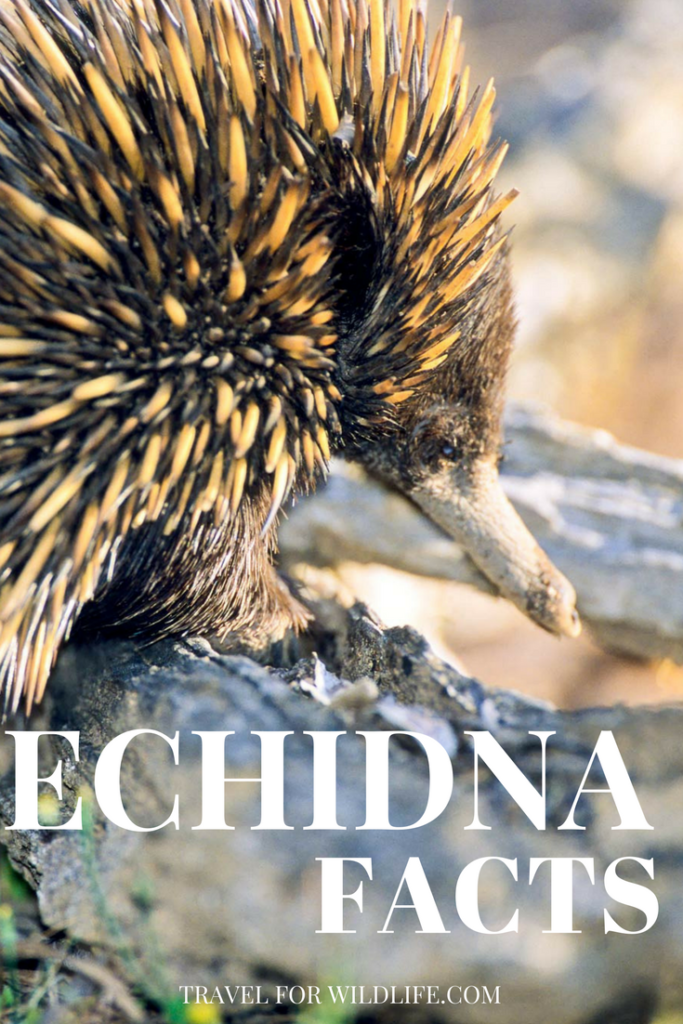 Fascinating echidna facts. Echidnas are one of the most lovable Australian animals. Learn more about them here! #Australia #animal #wildlife