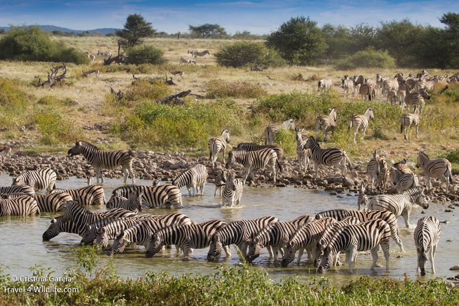 Zebras_Okaukuejo