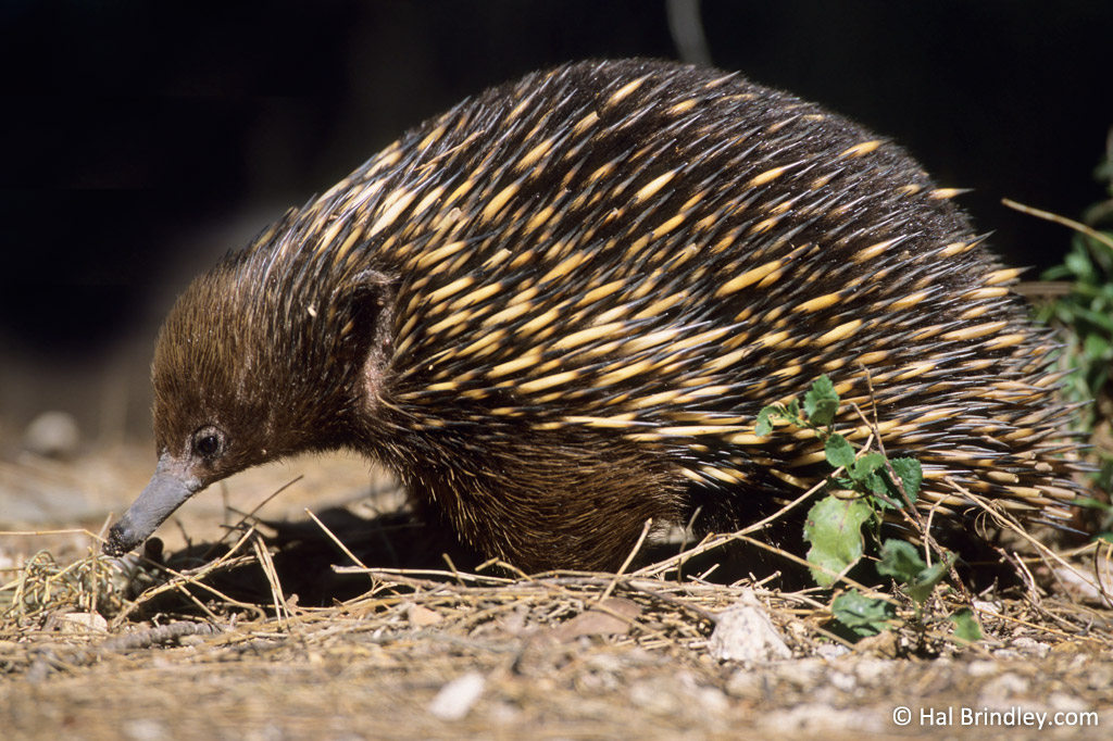"Echidna's use their long ""beak"" to burrow for ants. Also note the echidna's large ear!"