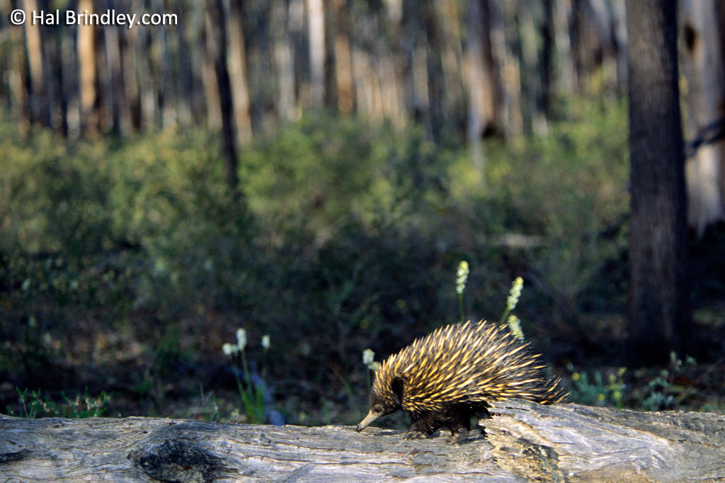 A short-beaked echidna crossing a log in Dryandra Woodland, Southwest Australia
