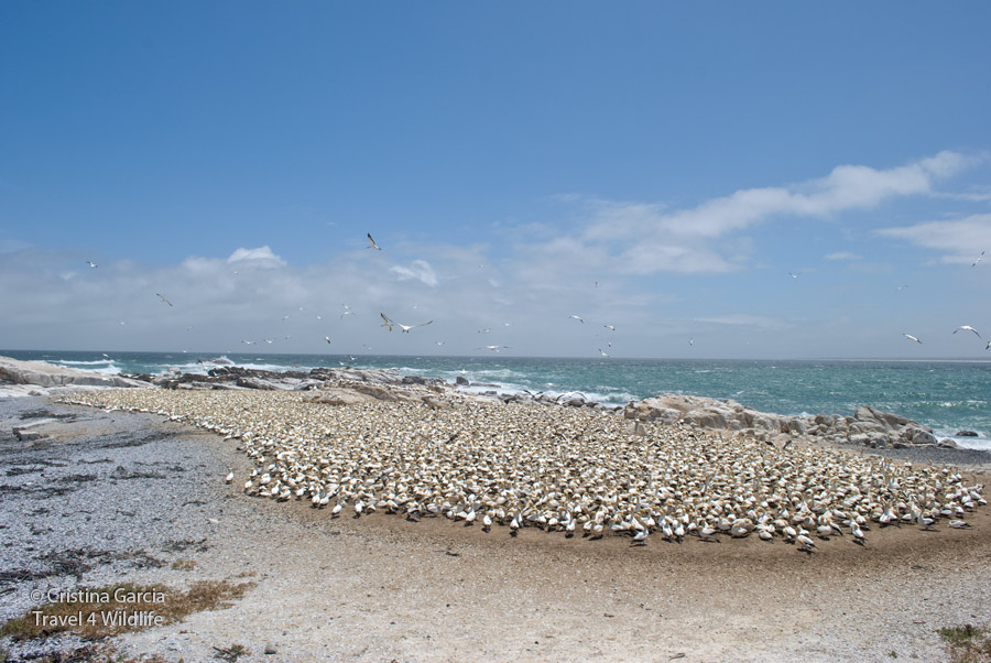Gannet colony as seen from the observatory