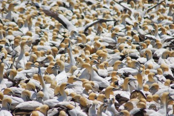 Gannet colony at Paternoster, South Africa