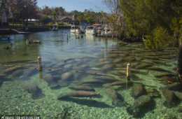 three sisters springs manatees