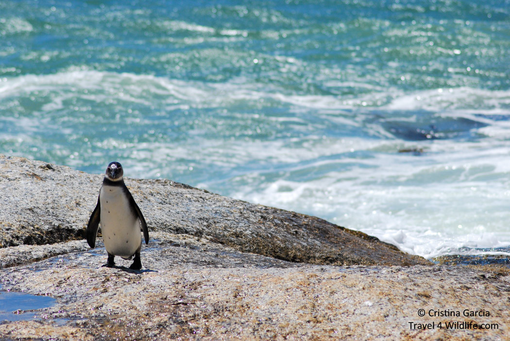 Jackass penguin coming out of the water