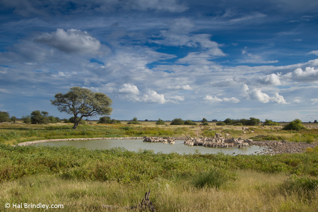 A constant parade of zebras visit the Okaukuejo waterhole in Etosha.
