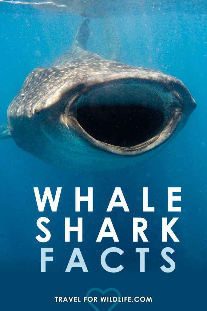 Learn fun & fascinating Whale Shark facts!