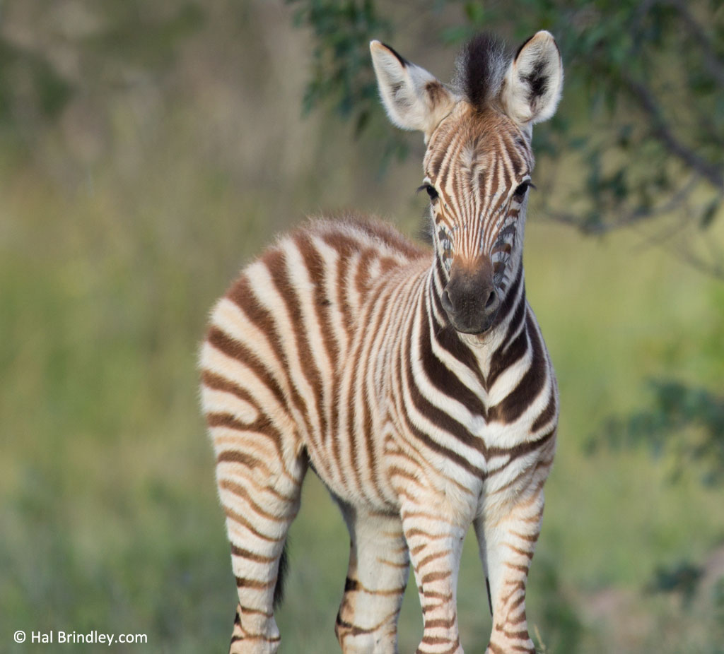 "We usually call baby zebras ""fuzzy butts"" because of the soft furry hair that stands tall on their rear ends."