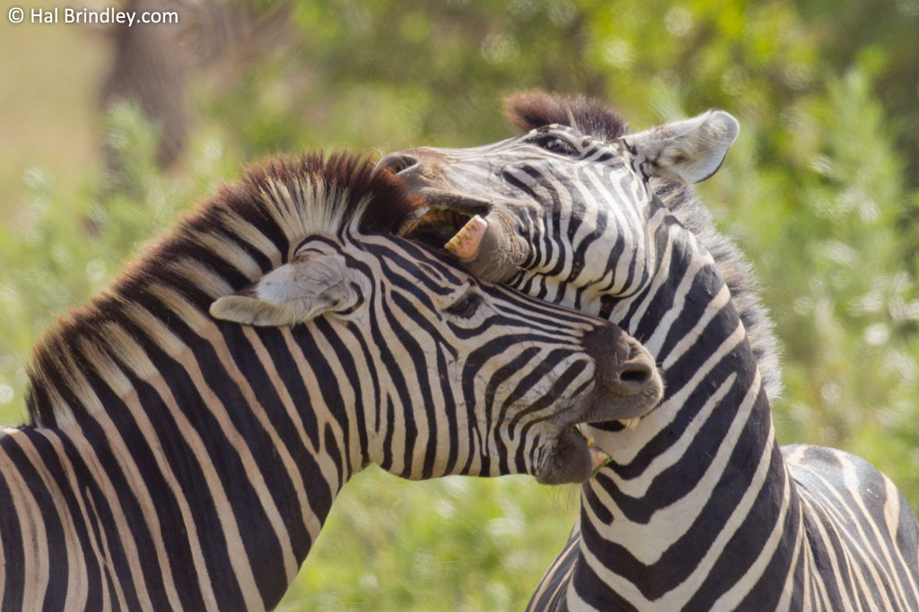 Zebras fighting in Kruger National Park