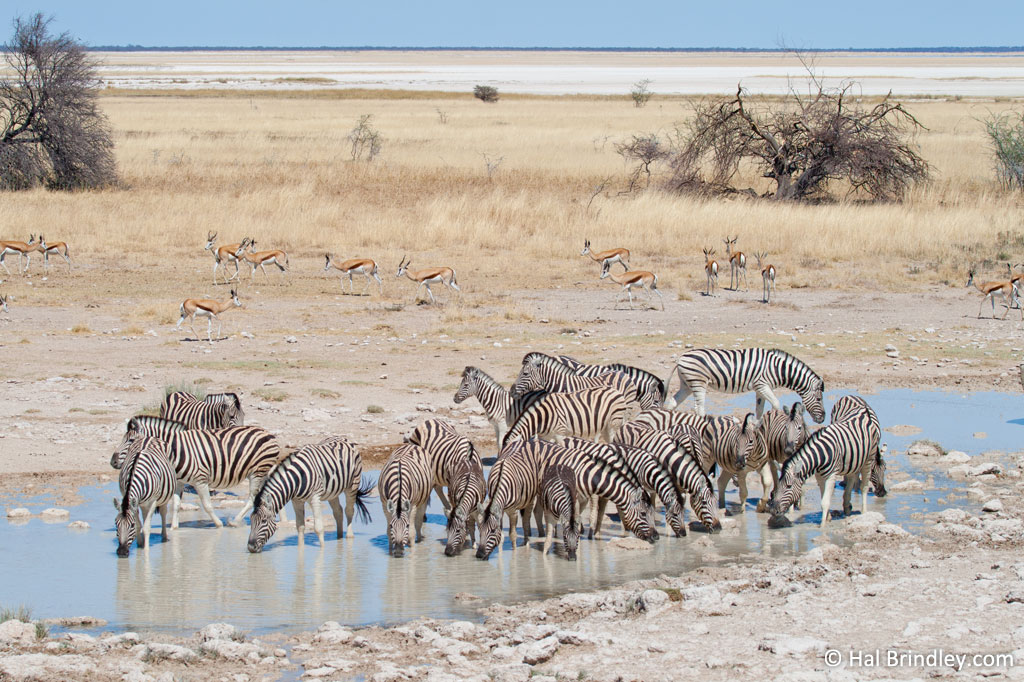 A row of drinking zebras is truly one of the most dazzling sights in the African savannah.