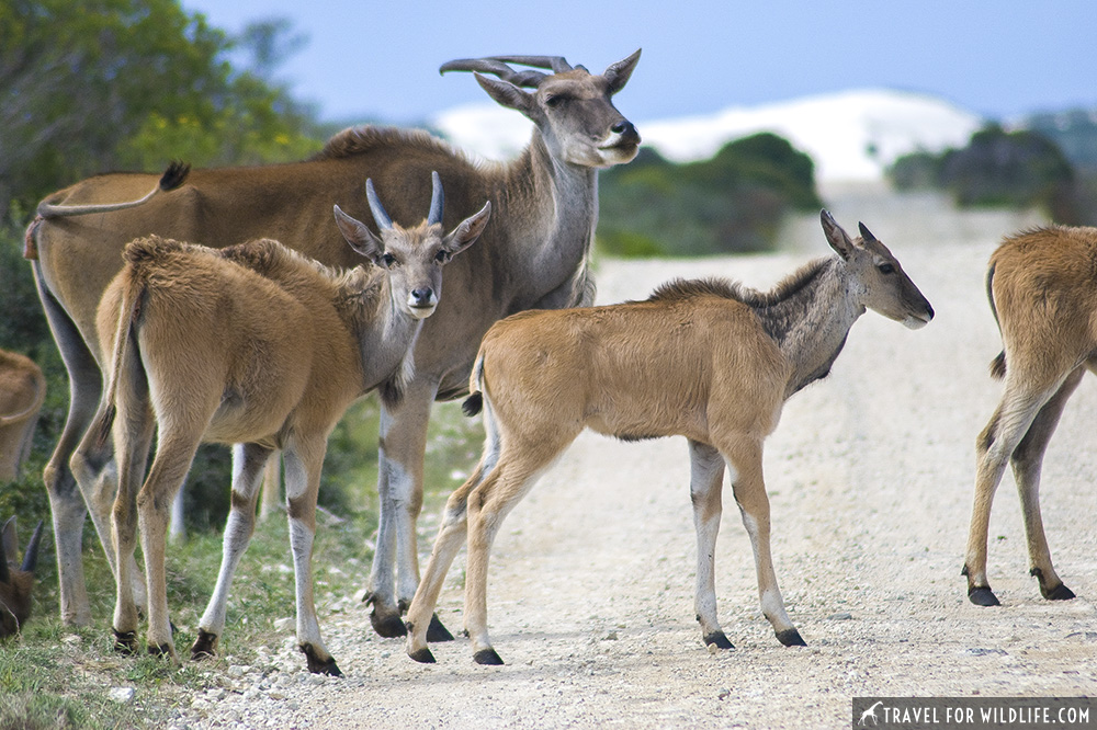 group of Eland crossing the road at De Hoop nature reserve