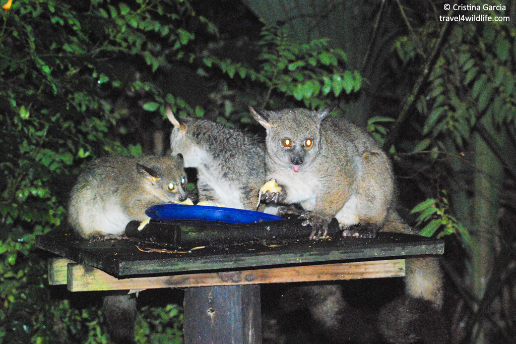 Bushbabies (thick-tailed greater galagos) feeding on fruit at Isinkwe Backpackers in South Africa