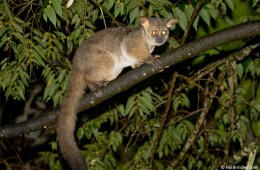 Bushbaby, South Africa