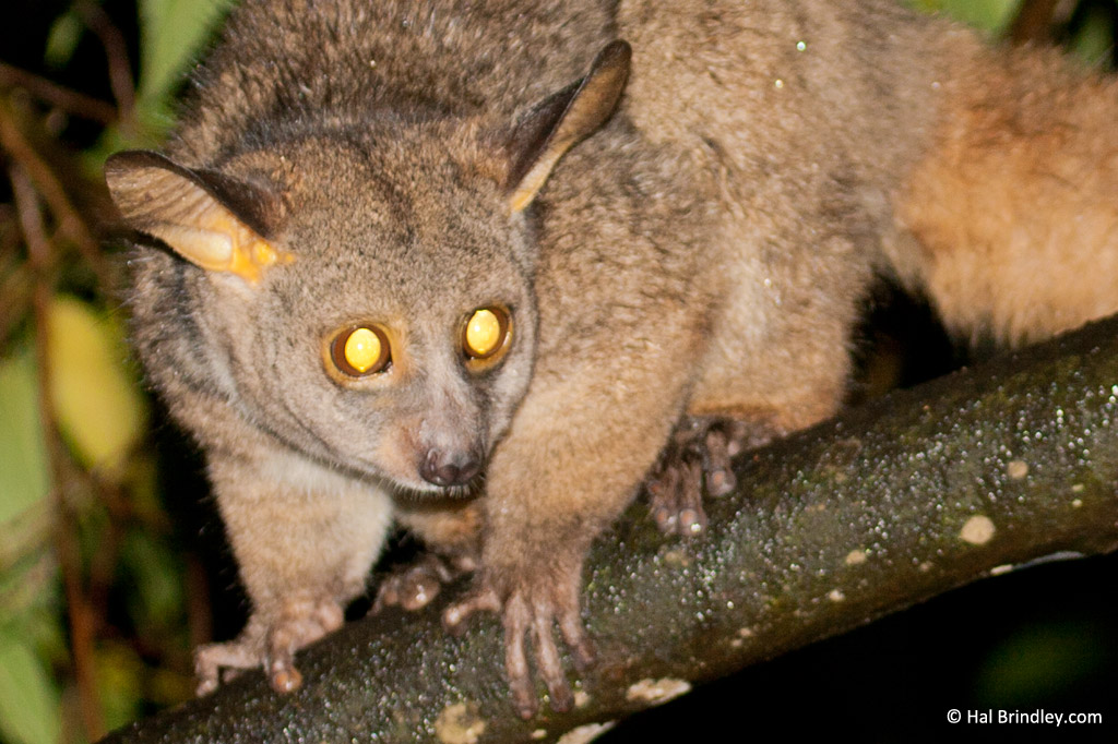 Greater Bush baby, South Africa