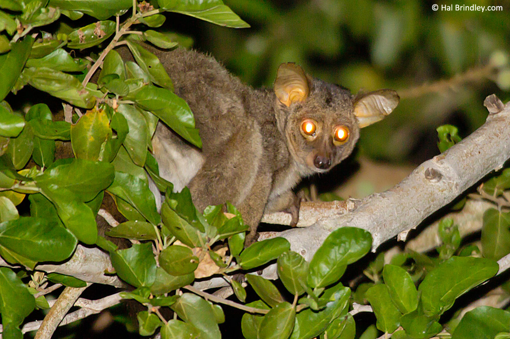 A Greater Bush baby in Kruger National Park, South Africa