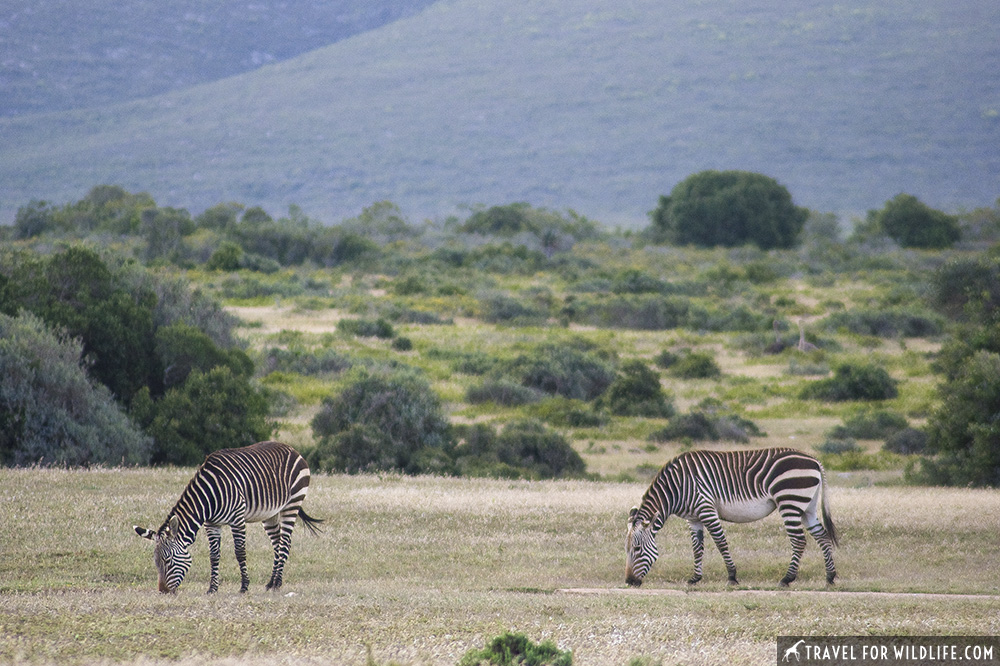 Two cape mountain zebras grazing