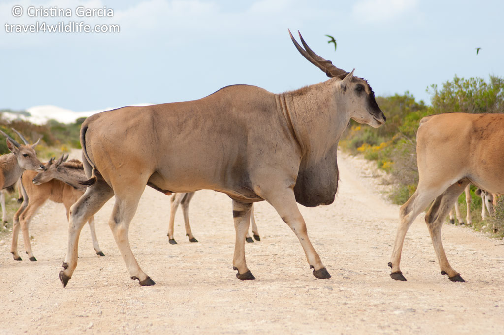 Eland are the biggest antelope and you can see them at De Hoop