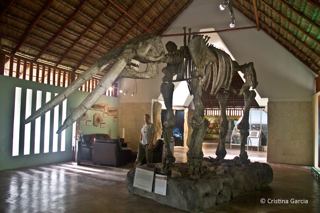 The gomphotherium was one ancestor of today's elephant