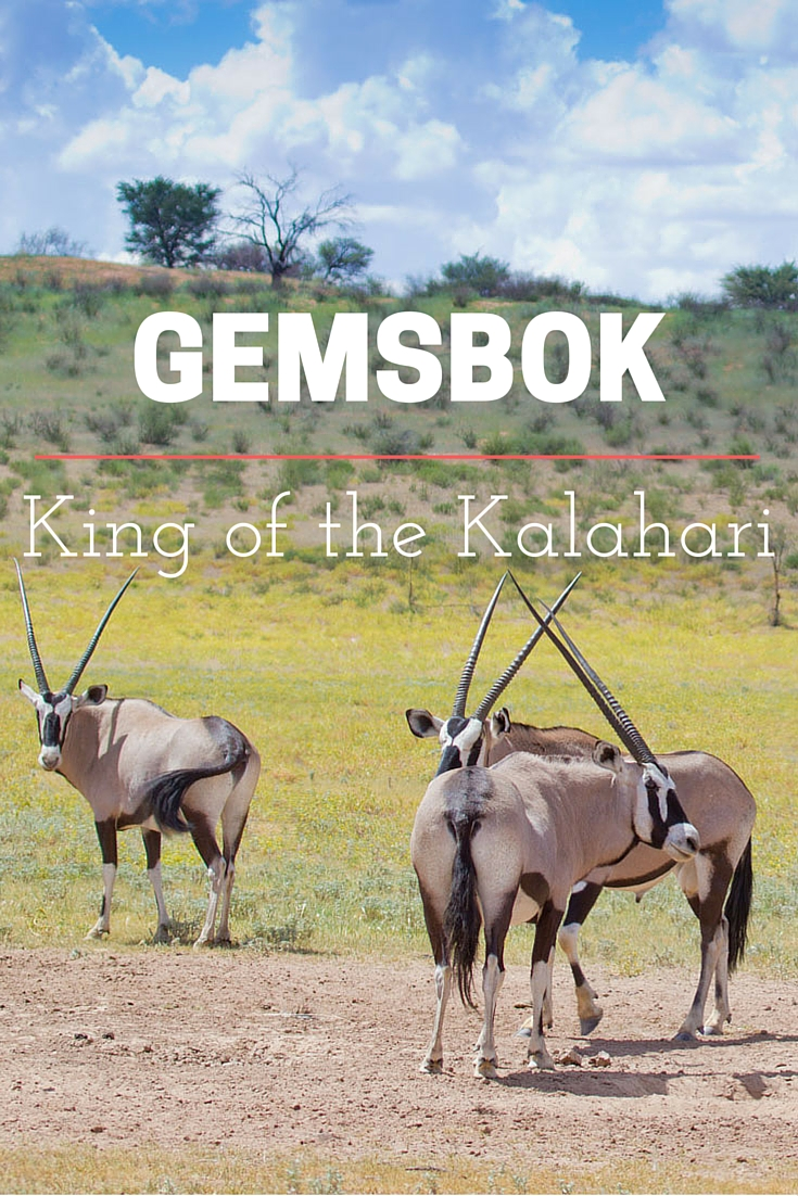Gemsbok in the Kalahari