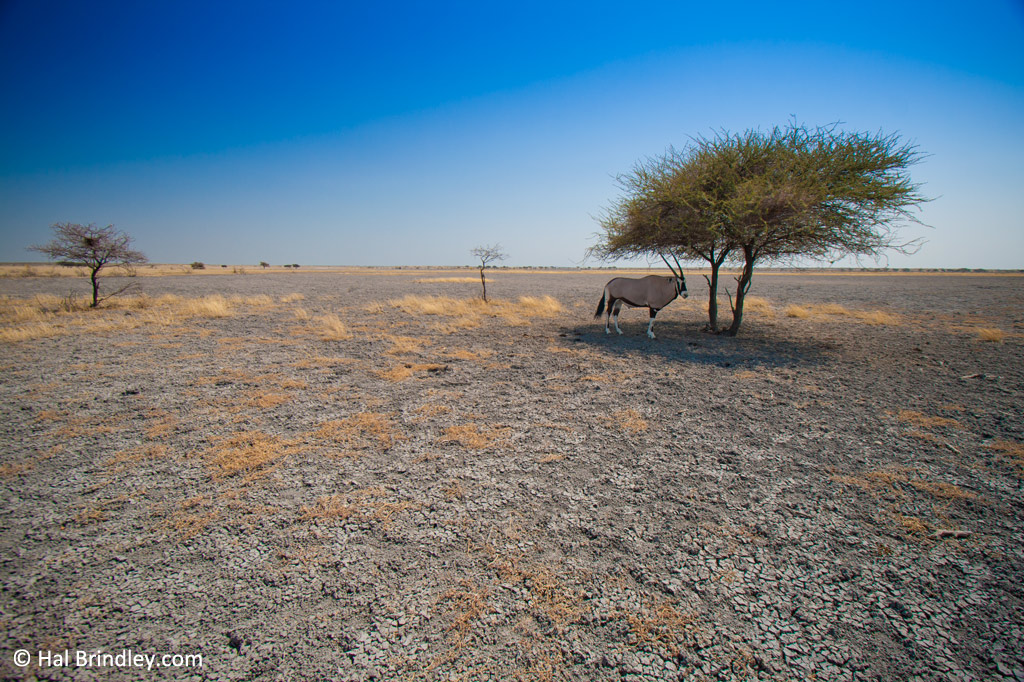 Gemsbok in the Central Kalahari