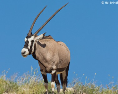 What do lions eat? Gemsbok are one of their favorite foods!