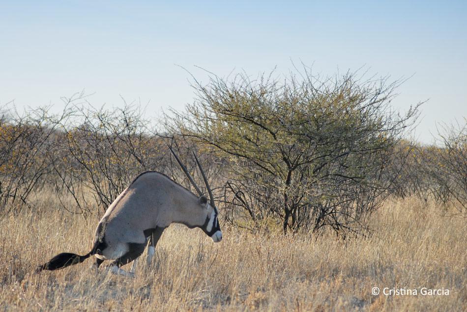 Gemsbok crouching