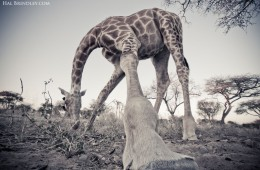 An unusual perspective of a browsing giraffe in the Kalahari