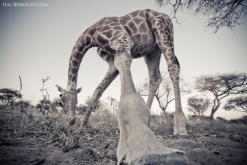 An unusual perspective of a browsing giraffe in the Kalahari