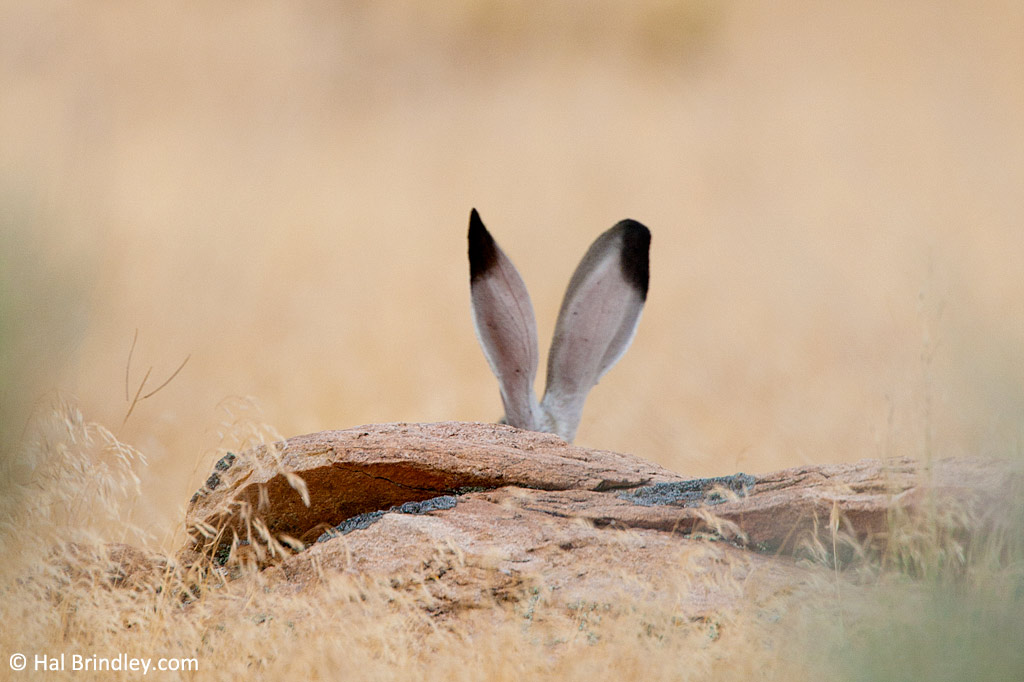 Jack Rabbit, Antelope Island, Utah.