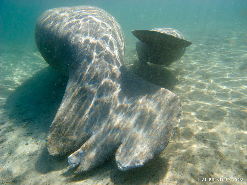 A manatee tail damaged by a boat helix