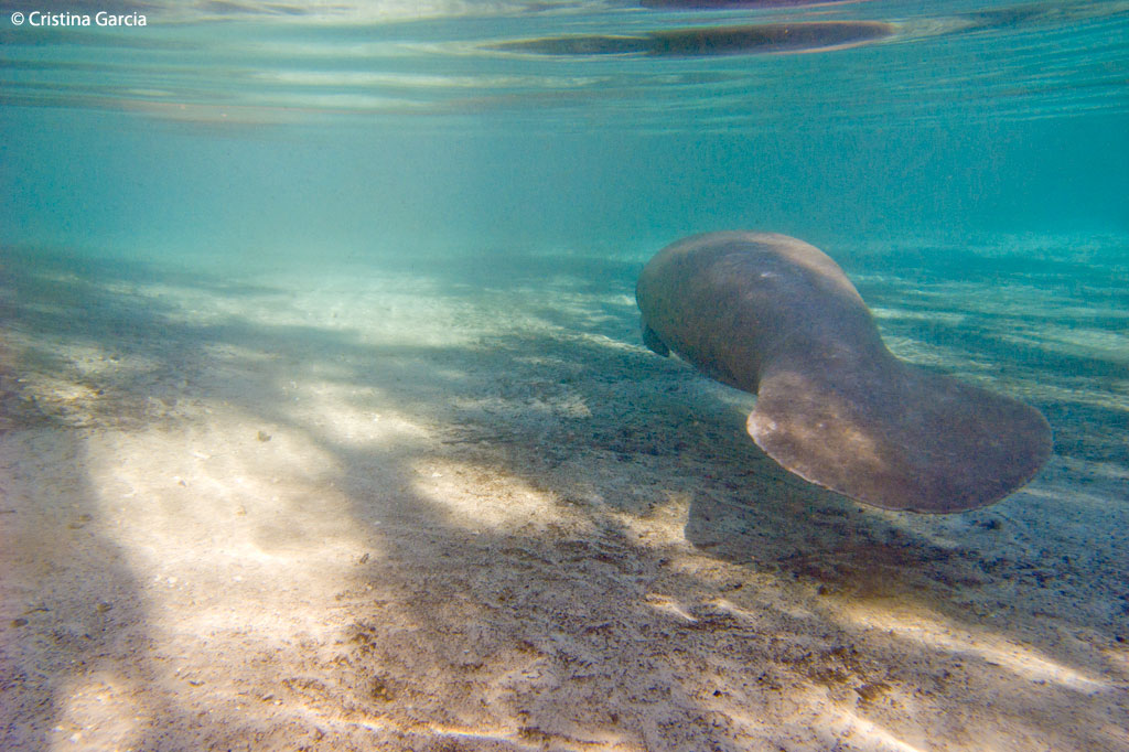 Manatee swimming to the Three Sisters Springs in Crystal River