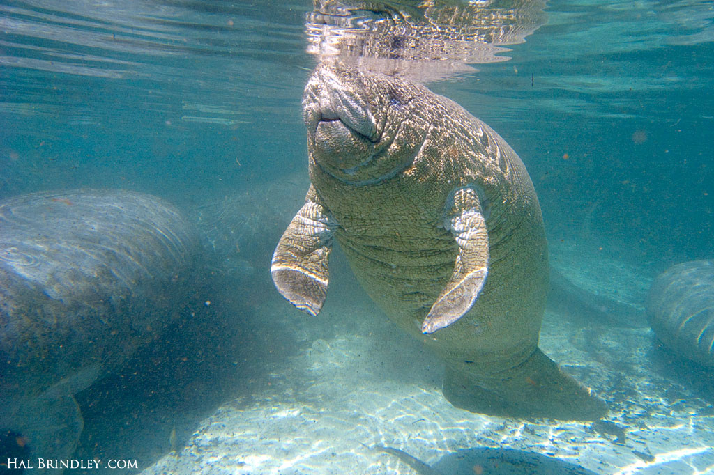 Baby manatees are very wrinkly. They will eventually grow and fill those wrinkles with body fat.