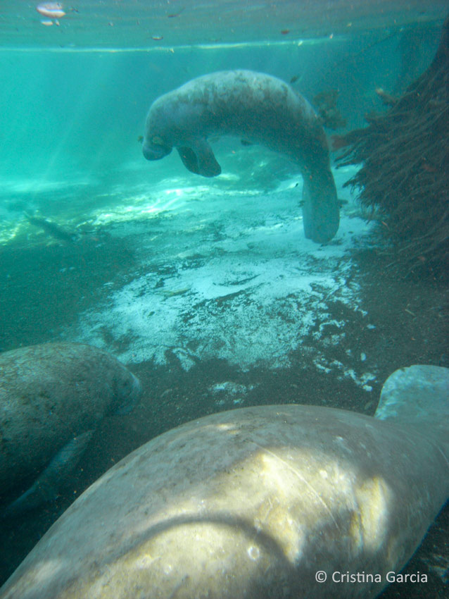 After breathing, a resting manatee sinks back into sleeping position