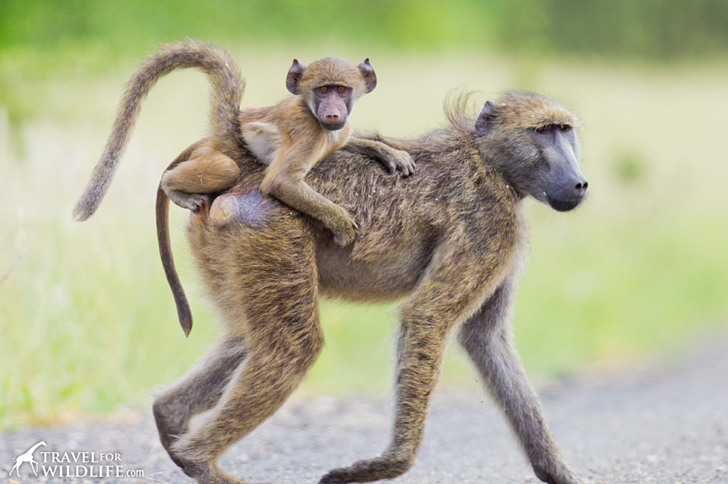 A baby Chacma Baboon riding on his mother's back in Kruger National Park, South Africa.