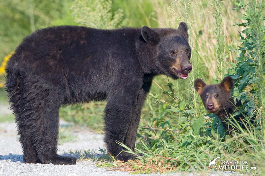 Black bear mother and cub, Alligator River NWR, North Carolina