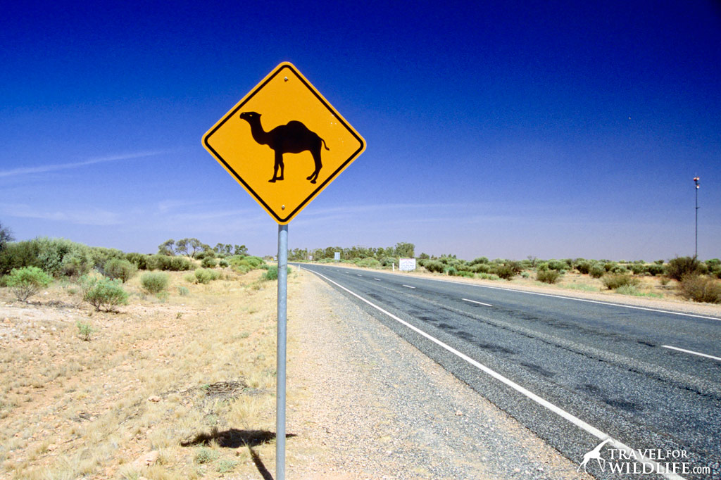 Camel crossing sign, Australia