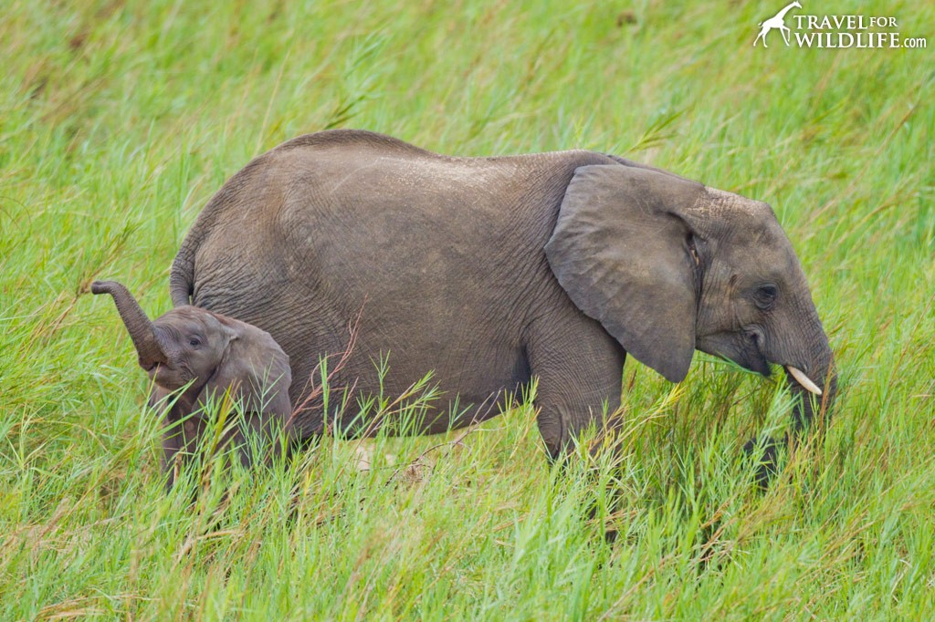 Baby elephant sounds
