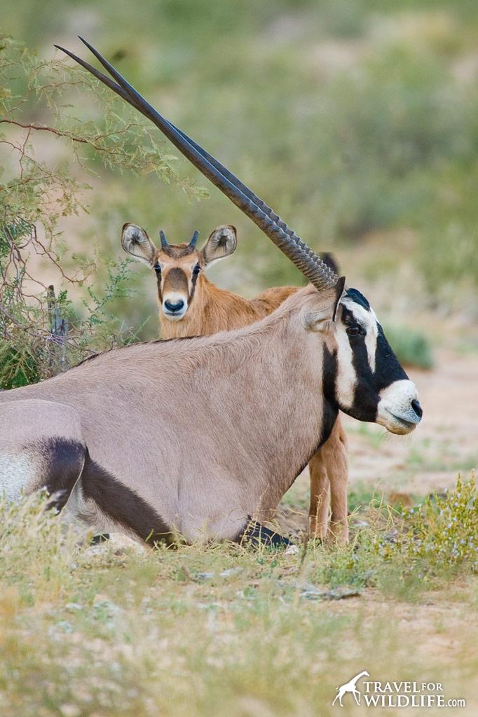 Gemsbok baby and mother. Kalahari Desert, South Africa.