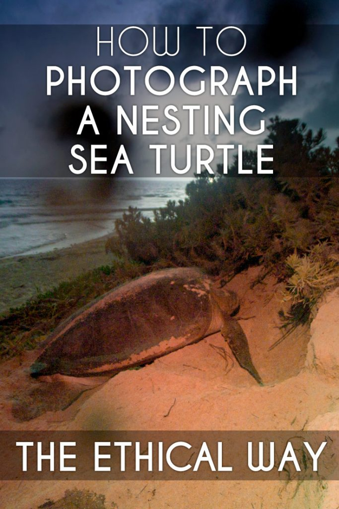 Nesting sea turtles are easily disturbed. Here is an ethical guide on how to photograph a nesting sea turtle.