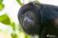 young Black Howler Monkey, Belize