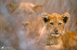 Lion cub and mother. Kruger National Park, South Africa.