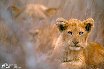 Lion cub and mother. Kruger National Park, South Africa.