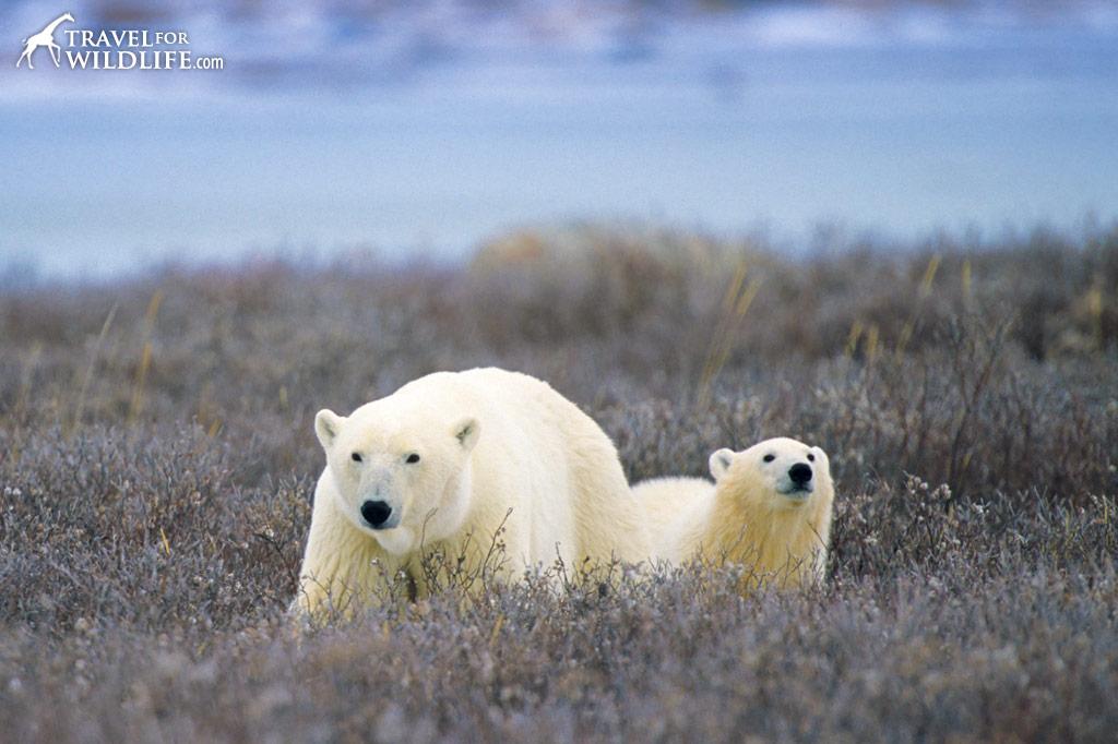 Polar bear mother and cub. Manitoba, Canada.