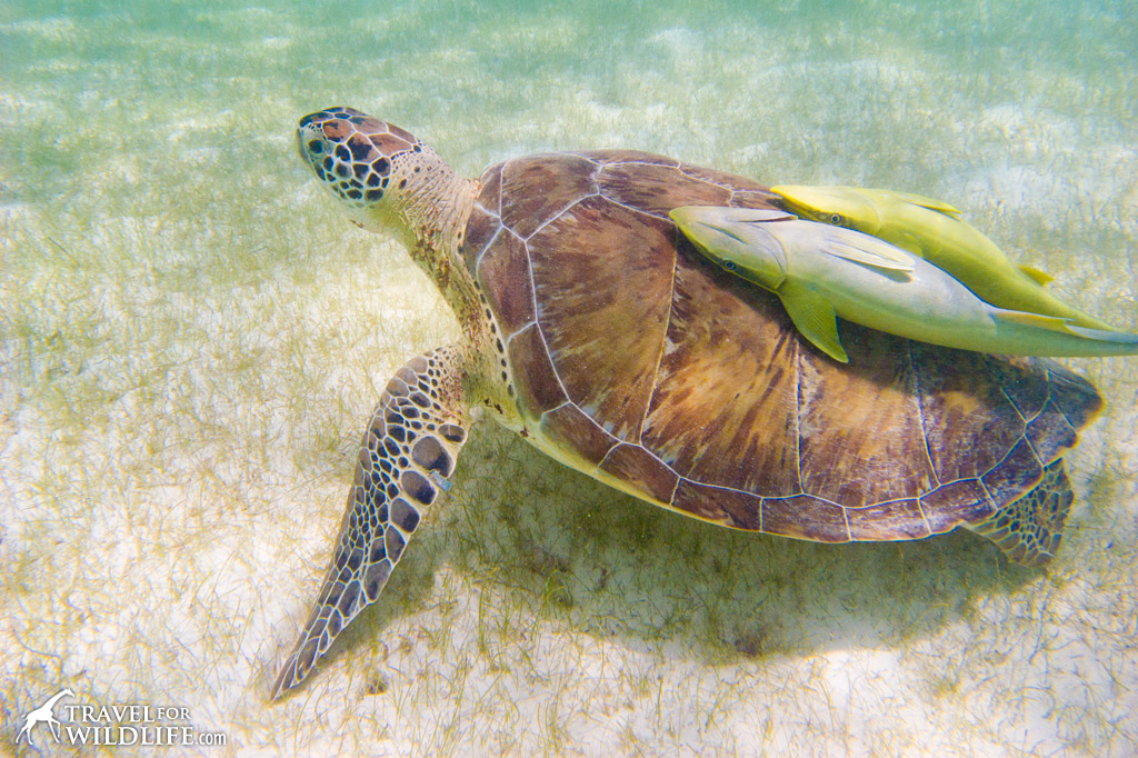 Sea turtle with two remoras on her back