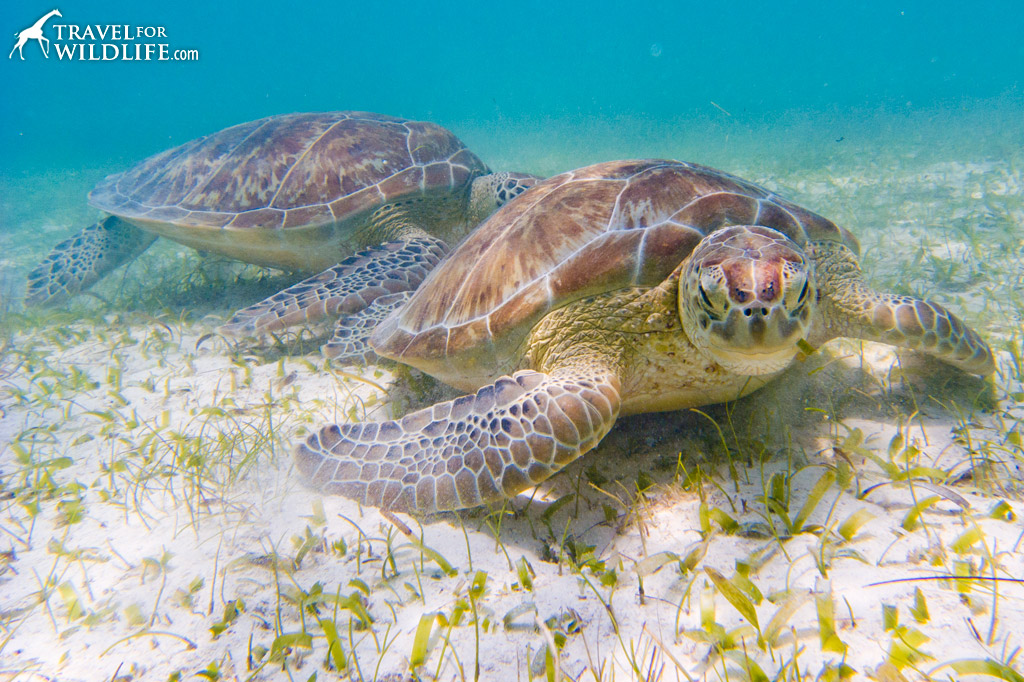 Sea turtles grazing